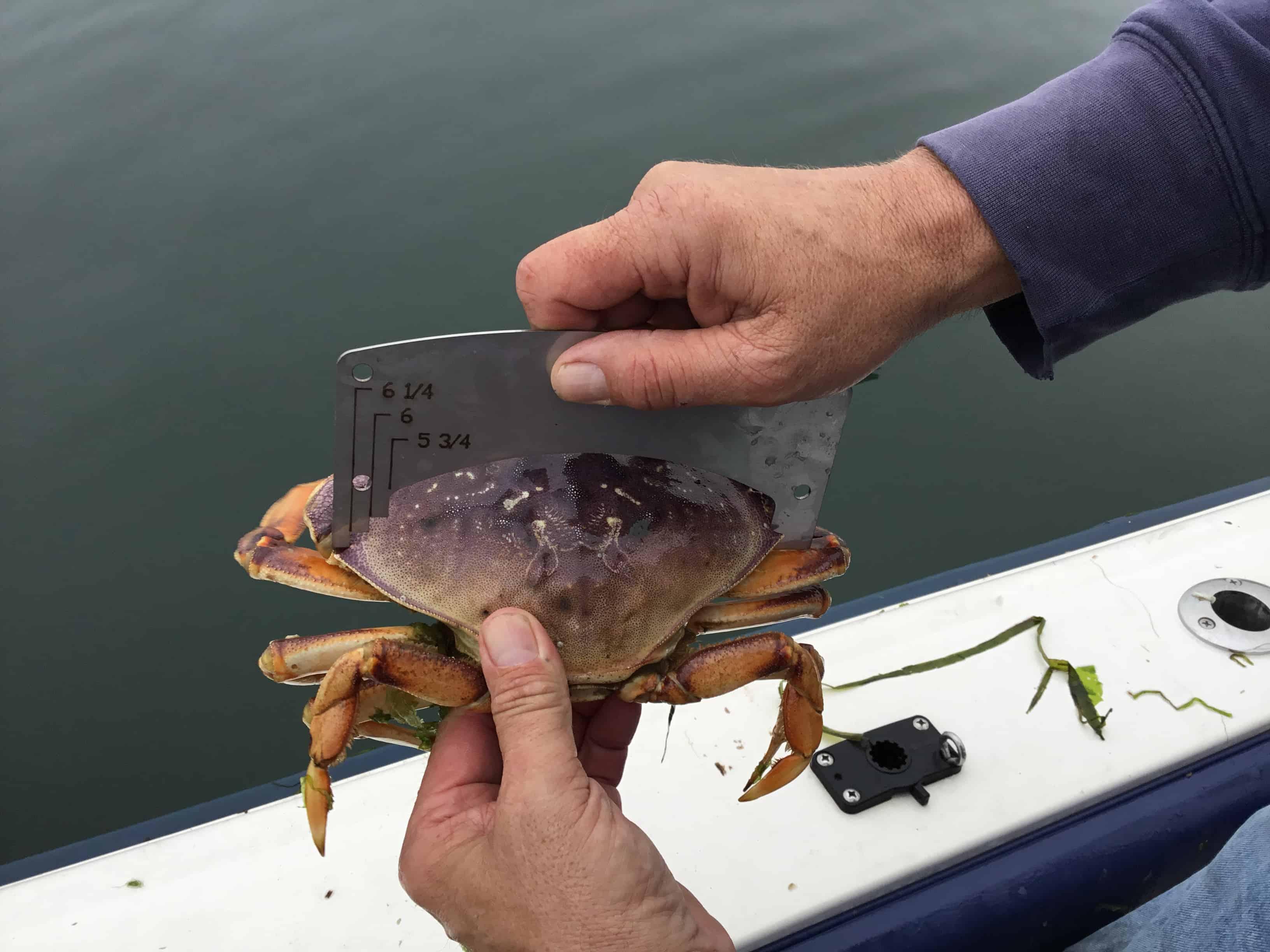 Guaging crab2